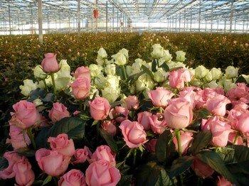 Теплица для роз