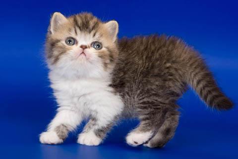 Экзот или экзотическая кошка
