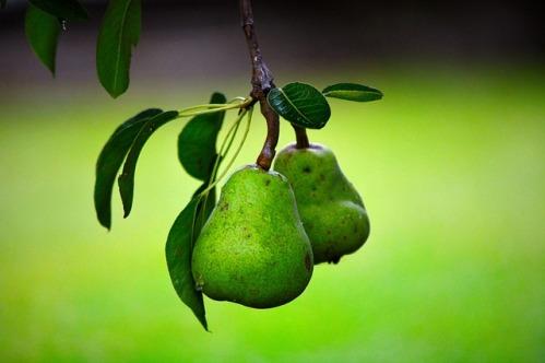 Как правильно посадить грушу и открыть свой бизнес