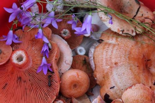 Как выращивать грибы рыжики в домашних условиях