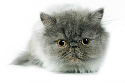 Персидская кошка. Как разводить и как заработать