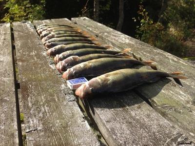 Разведение, нерест окуня-бизнес на рыбалке на окуня