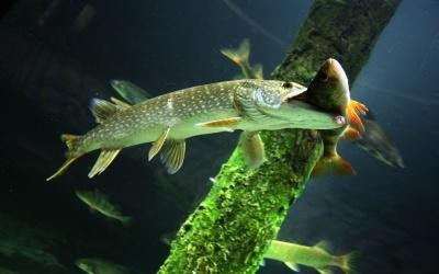Рыба щука-разведение щуки самостоятельно