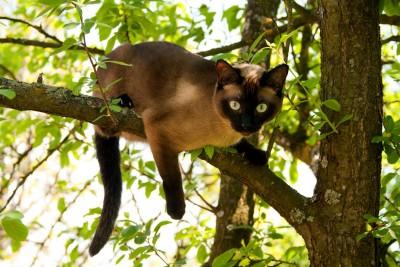 Сиамские кошки, описание, характер, фото