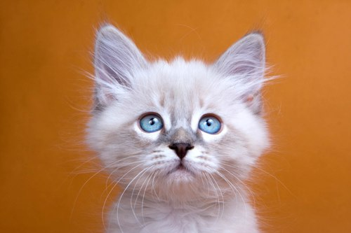 Сибирская порода кошек-цена, фото, характер